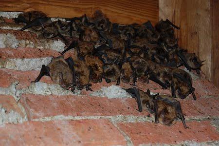 Bat Removal by Plateau Pest